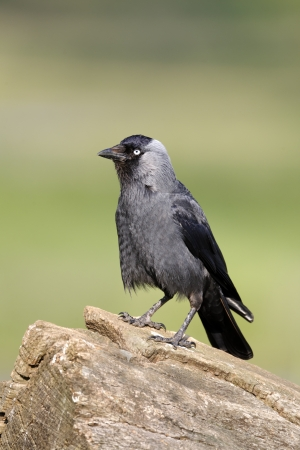Jackdaw, Corvus monedula, single bird on branch, Warwickshire, May 2012 photo
