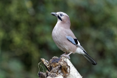 garrulus: Jay, Garrulus glandarius, single bird on log, Warwickshire, October, 2012