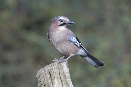garrulus: Jay, Garrulus glandarius, single bird on post, Warwickshire, November 2012