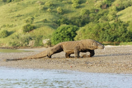 Komodo dragon, Varanus komodoensis, single lizard on floor,  Komodo Indonesia, March 2011