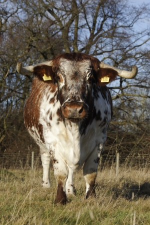 longhorn cattle: Longhorn cattle, Bordsley Abbey, Redditch, Worcestershire, December 2011