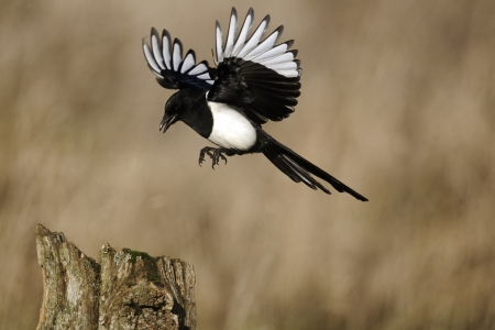 Magpie, Pica pica, single bird in flight, Warwickshire, January 2012  Stockfoto