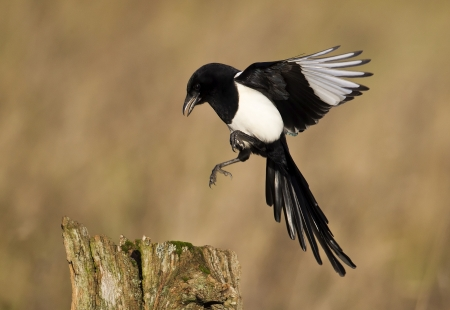 pica: Magpie, Pica pica, single bird in flight, Warwickshire, January 2012  Stock Photo