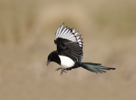 Magpie, Pica pica, single bird in flight, Warwickshire, January 2012  photo