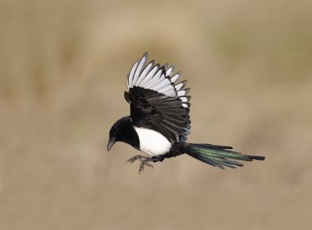 Magpie, Pica pica, single bird in flight, Warwickshire, January 2012  Archivio Fotografico