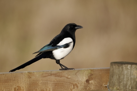 Magpie, Pica pica, single bird on fence, Warwickshire, January 2012  Stock Photo