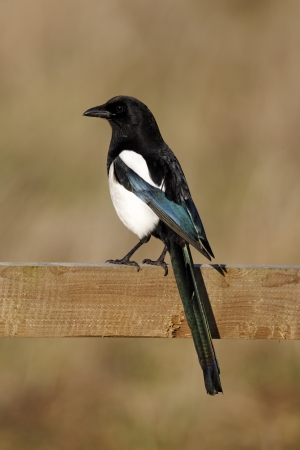 pica: Magpie, Pica pica, single bird on fence, Warwickshire, January 2012  Stock Photo