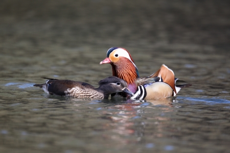 aix galericulata: Mandarin duck, Aix galericulata, male and female mating on water, Midlands, April 2011 Stock Photo