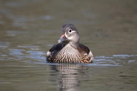 aix galericulata: Mandarin duck, Aix galericulata, single female on water, Midlands, April 2011