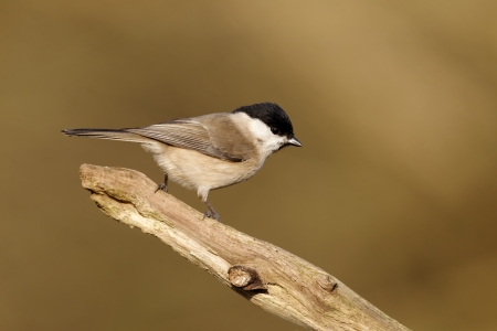 Marsh tit, Poecile palustris, single bird on branch, Warwickshire, January 2012 photo