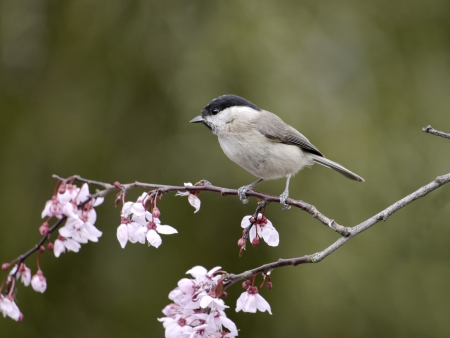 poecile palustris: Marsh tit, Parus palustris, single bird on blossom, Warwickshire, March 2012