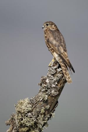 merlin: Merlin, Falco columbarius, mujer sola en el poste, cautivo, abril de 2011 Foto de archivo