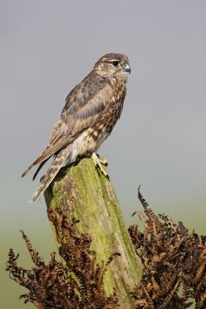 mago merlin: Merlin, Falco columbarius, mujer sola en el poste, cautivo, abril de 2011 Foto de archivo
