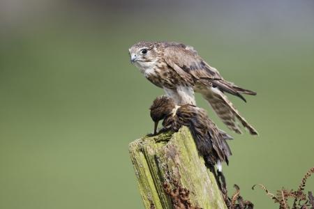 merlin falcon: Merlin, Falco columbarius, single female on post with water rail, captive, April 2011