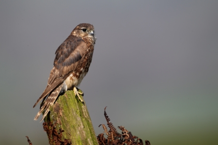 merlin falcon: Merlin, Falco columbarius, single female on post, captive, April 2011