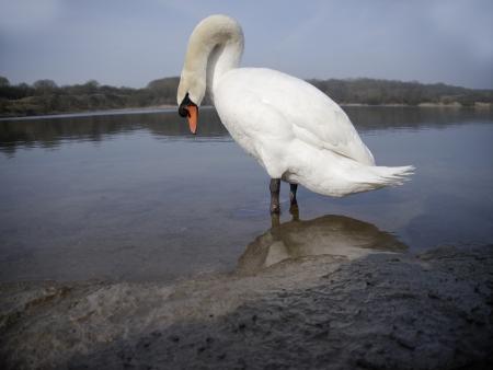cygnus olor: Mute swan,Cygnus olor, single bird in water, Glamorgan, Wales, March 2012