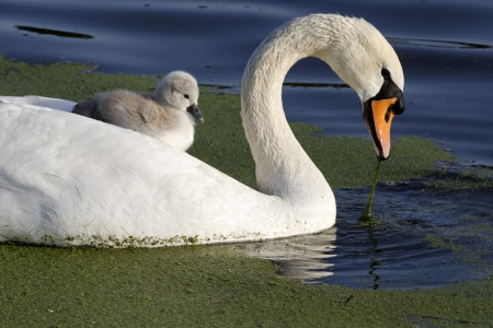cygnus olor: Mute swan, Cygnus olor, Female with young on back, London, May 2012 Stock Photo
