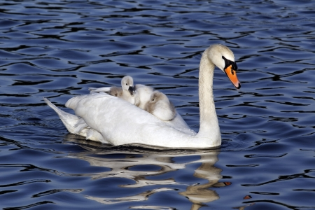 cygnet: Mute swan, Cygnus olor, Female with young on back, London, May 2012 Stock Photo