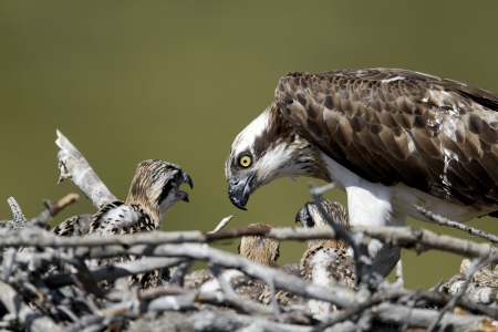 osprey: Osprey, Pandion haliaetus, single adult on nest with young, Finland, July 2012