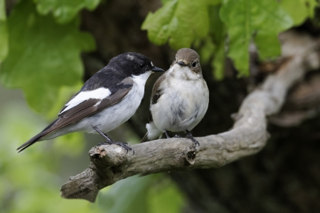 Pied flycatcher, Ficedula hypoleuca, male and female on branch, Wales, May 2011             Stock Photo