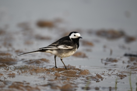Pied wagtail, Motacilla alba yarrellii, single bird by water, Midlands, April 2011 Stock Photo - 22643625