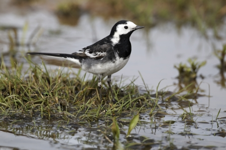 Pied wagtail, Motacilla alba yarrellii, single bird by water, Midlands, April 2011 photo