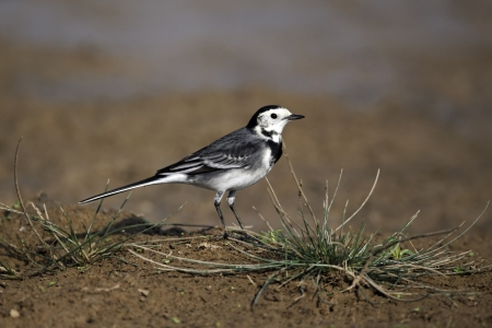 Pied wagtail, Motacilla alba yarrellii, single bird on hump in ground, Midlands, October 2011   photo
