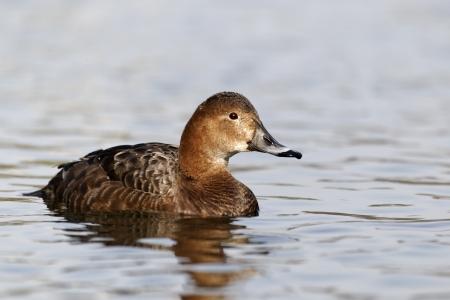 aythya ferina: Pochard, Aythya ferina, single female on water, Warwickshire, March 2012 Stock Photo