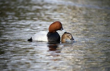 aythya ferina: Pochard, Aythya ferina, pair mating on water, Warwickshire, March 2012 Stock Photo
