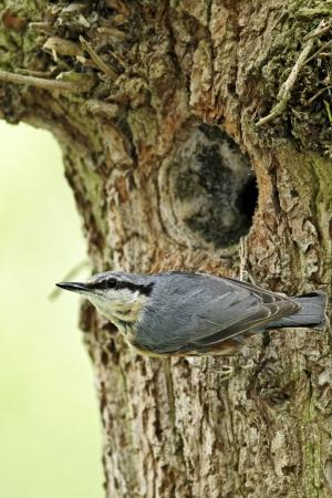 Nuthatch, Sitta europaea, single bird at nest hole, Midlands, May 2011                 photo
