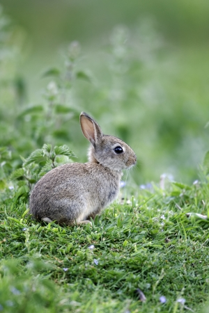 oryctolagus cuniculus: Rabbit, Oryctolagus cuniculus, single young mammal in grass, Warwickshire, May 2012