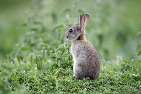 burrows: Rabbit, Oryctolagus cuniculus, single young mammal in grass, Warwickshire, May 2012
