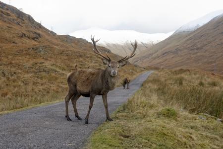 cervus elaphus: Red deer, Cervus elaphus, single male, Glen Garry, Scotland, November 2012