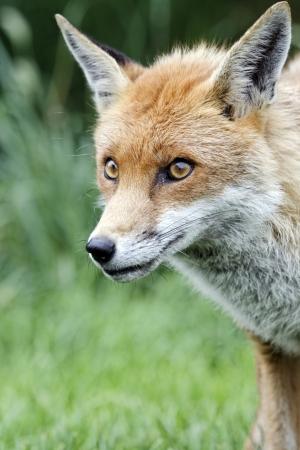 Red fox, Vulpes vulpes, single animal head shot, captive, July 2011 Stock Photo