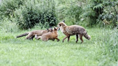 three animals: Volpe rossa, Vulpes vulpes, Tre animali madre con i cuccioli, prigioniero, luglio 2011