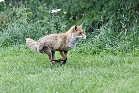 Red fox, Vulpes vulpes, single animal running, captive, July 2011