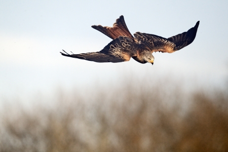 milvus: Red kite, Milvus milvus, single bird in flight, Gigrin Farm, Wales, January 2011                 , Stock Photo