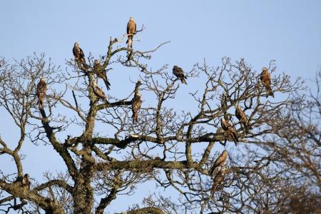 milvus: Red kite, Milvus milvus, group of birds in tree, Gigrin Farm, Wales, January 2011                 ,