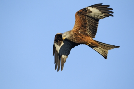 Red kite, Milvus milvus, single bird in flight, Gigrin Farm, Wales, January 2011                 , Stock Photo