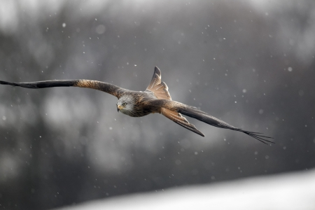 milvus: Red kite, Milvus milvus, Single bird in flight, Wales, February 2012