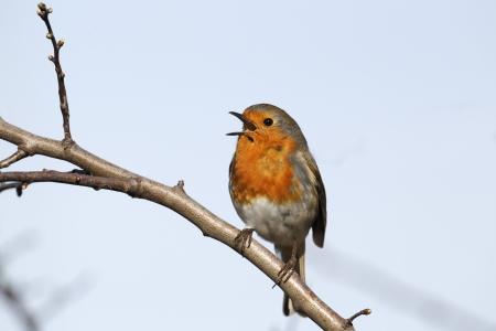 rubecula: Robin, Erithacus rubecula, single bird singing from a branch, West Midlands, U.K., February 2011