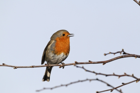 redbreast: Robin, Erithacus rubecula, single bird singing from a branch, West Midlands, U.K., February 2011