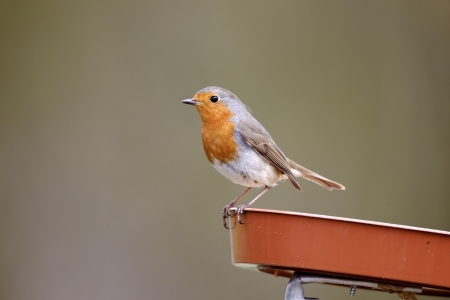 redbreast: Robin, Erithacus rubecula, single bird on feeding tray, Warwickshire, April 2012