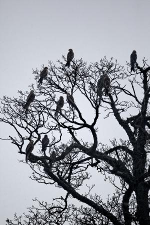 milvus: Red kite, Milvus milvus, Group of birds in tree, Wales, February 2012