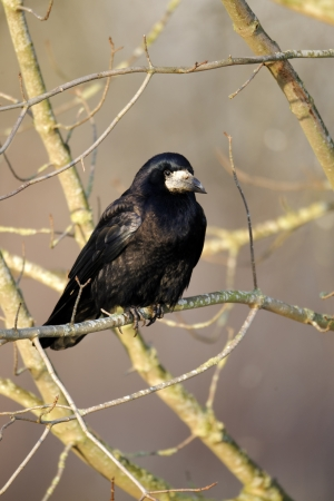 frugilegus: Rook, Corvus frugilegus, single bird in tree, Warwickshire, January 2012  Stock Photo