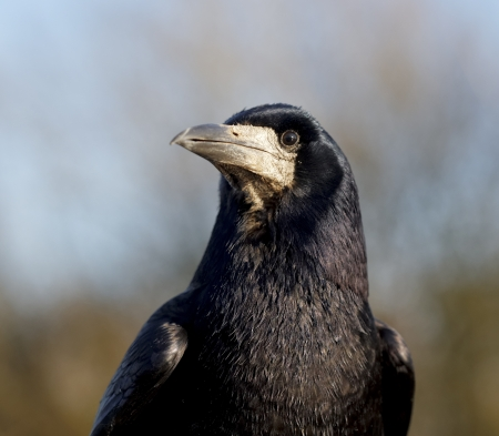 frugilegus: Rook, Corvus frugilegus, single bird head shot, Warwickshire, December 2012