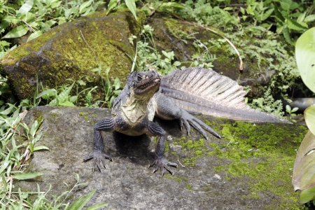 sailfin: Sailfin lizard, Hydrosaurus weberi, single lizard on floor, Indonesia, March 2011 Stock Photo