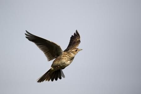 종달새, Alauda arvensis, 비행에서 하나의 조류, 미들 랜드 2011.04.09 스톡 콘텐츠