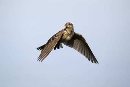 Skylark, Alauda arvensis, single bird in flight, Midlands, April 2011