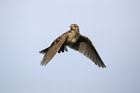 Skylark, Alauda arvensis, single bird in flight, Midlands, April 2011